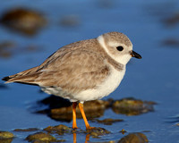 Piping Plover - Galveston, Texas