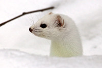 Short-tailed Weasel SaxZim Bog, MN