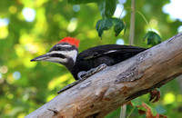 Pileated Woodpecker - New Hampshire