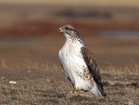Ferruginous Hawk - Badlands, South Dakota