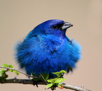 Indigo Bunting Fluffed Up