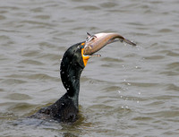Double-crested Cormorant (with fish)