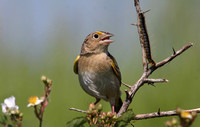 Grasshopper Sparrow with Caterpillar