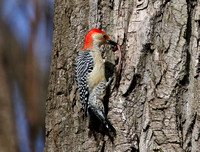 Red-bellied Woodpecker with worm - Whistler's Woods, Illinois
