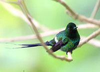Green Thorntail - Costa Rica