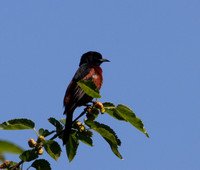Orchard Oriole (breeding male)